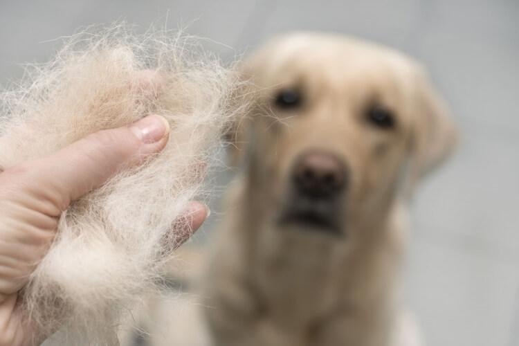 換毛期の犬の毛